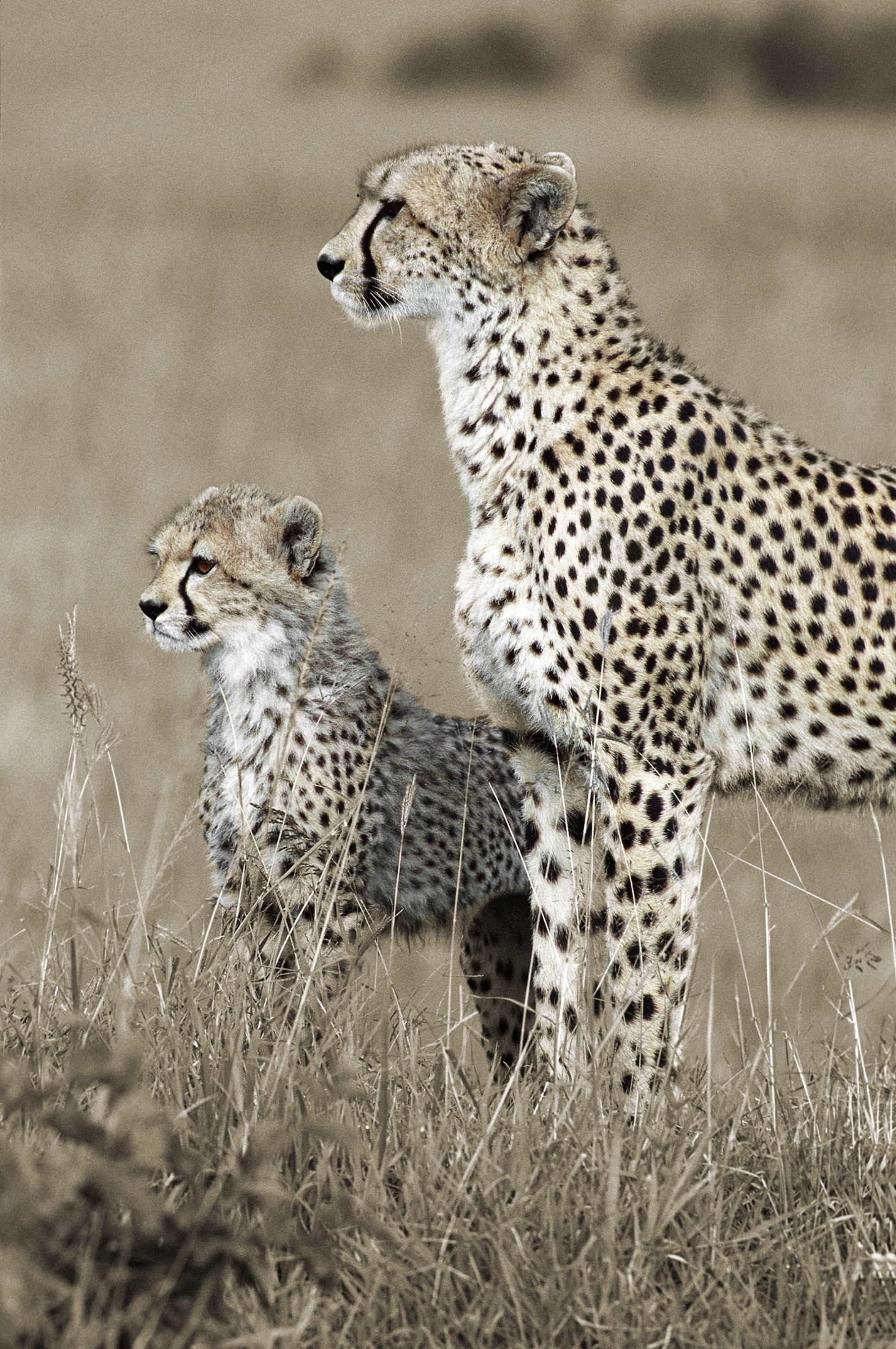 Two Cheetah by Mary Ratner